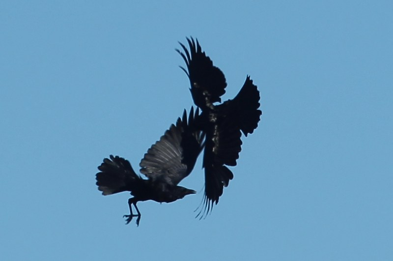 American crows mid-flight