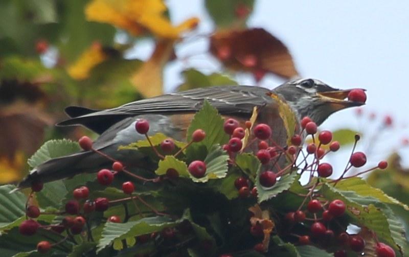 American robin eating mountain ash fruit