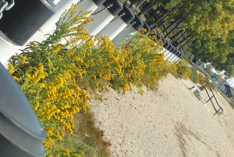Seaside goldenrod