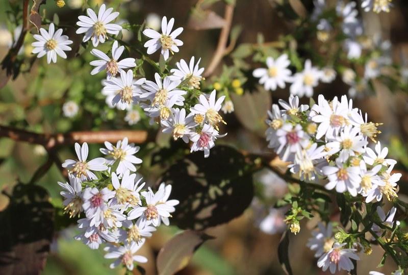 Blue wood aster flowers