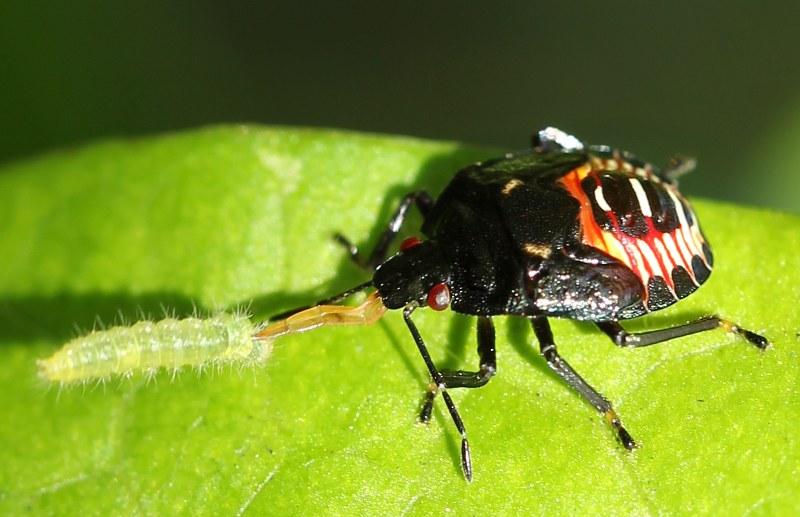 Stink bug with caterpillar