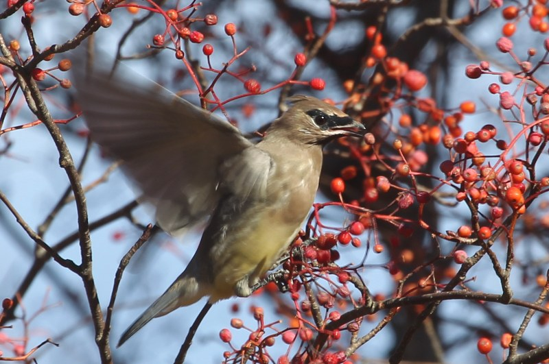 Cedar waxwing eating fruit of mountain ash.