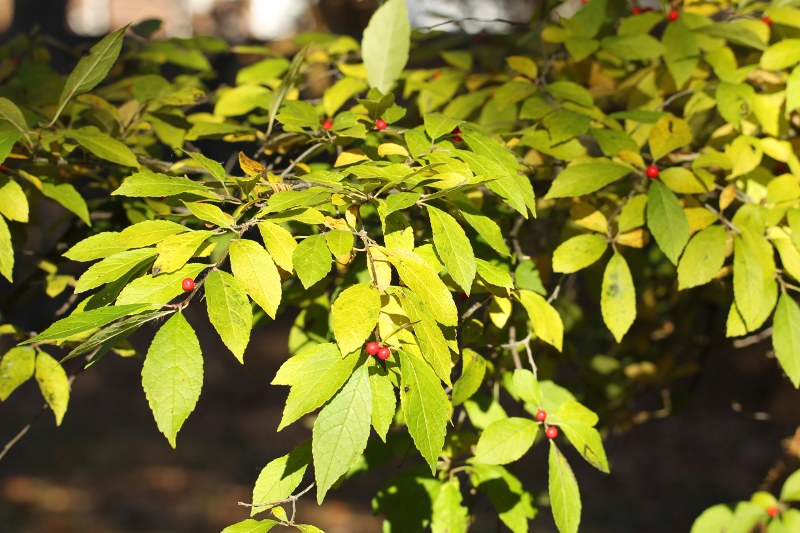 Winterberry leaves and fruit