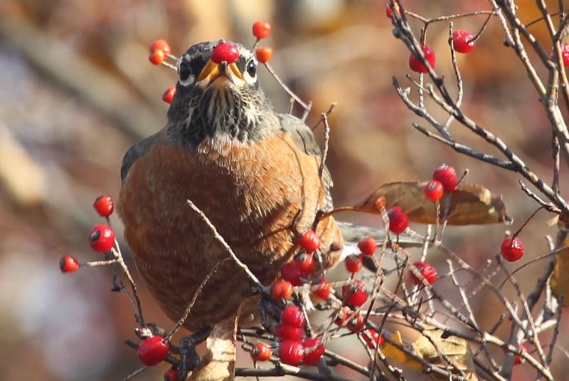 American robin eating the fruit of oriental photinia