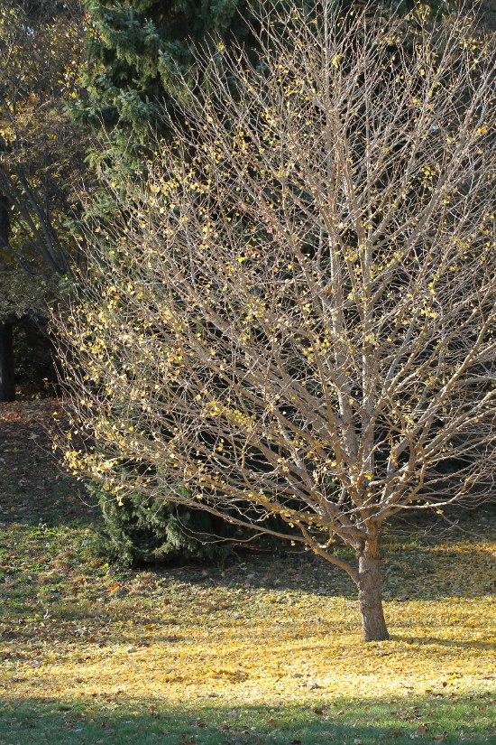 Ginkgo tree with fallen leaves