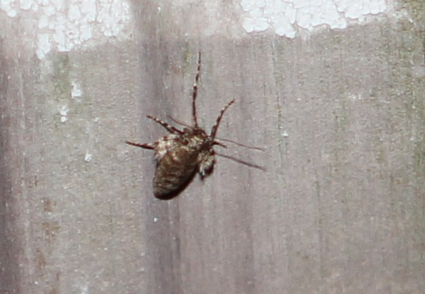 Female winter moth on a fence