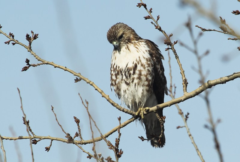 Red-tailed hawk on the hunt