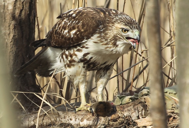 Red-tailed hawk with mouse for prey