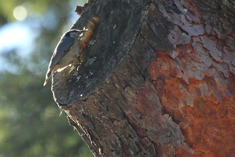 red-breasted nuthatch on Scotch pine