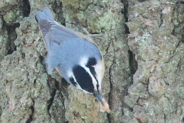 red-breasted nuthatch collecting pine resin