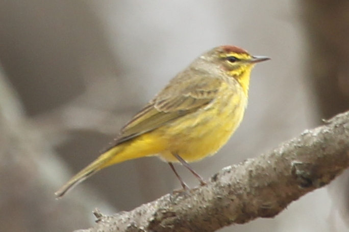 Early palm warbler