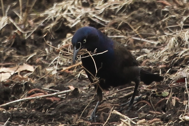 Common grackle with straw and dead grass in its bill.