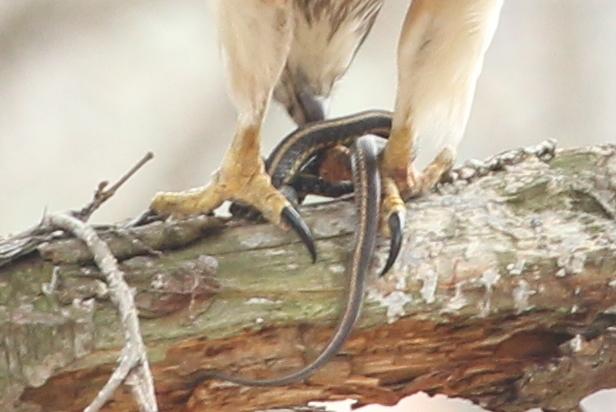 Garter snake captured by red-tailed hawk.