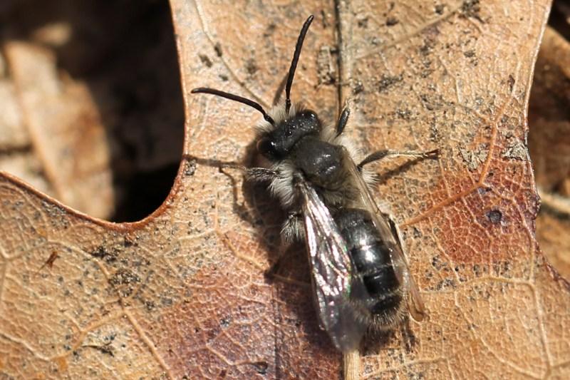 Cellophane bee