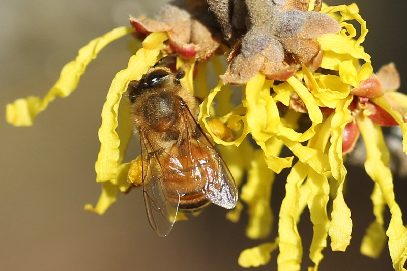 European honey bee feeding on a witch-hazel flower
