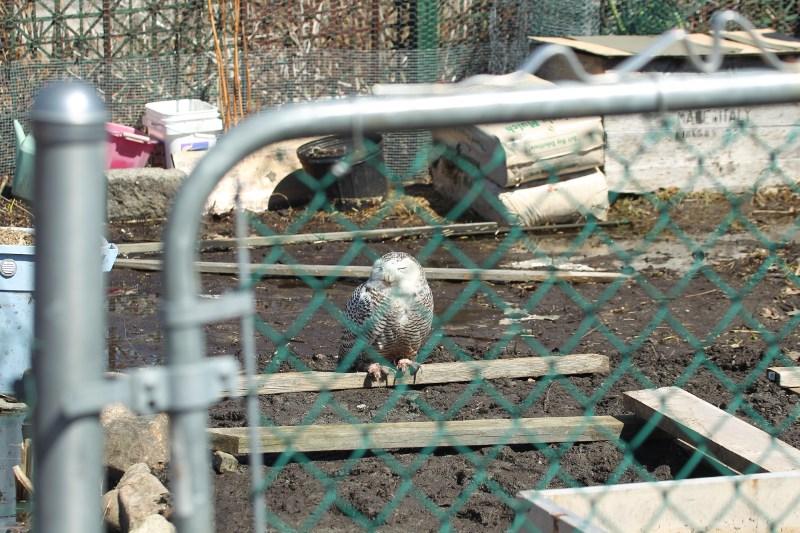 Snowy owl in community garden