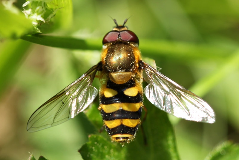 Hoverfly - Syrphus or Parasyrphus or Epistrophe