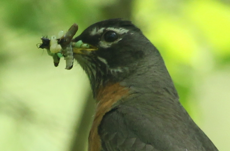 Insects in a robin's beak