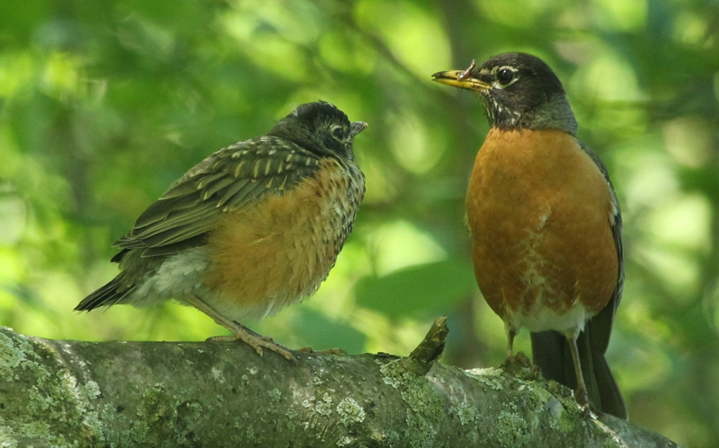 An adult American robin feeding its young