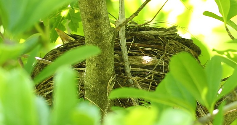 American robin nest with one chick visible.