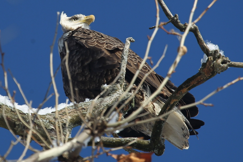 Bald eagle on a sycamore tree on the banks of Jamaica Pond