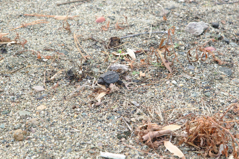 Baby snapping turtle next to Jamaica Pond