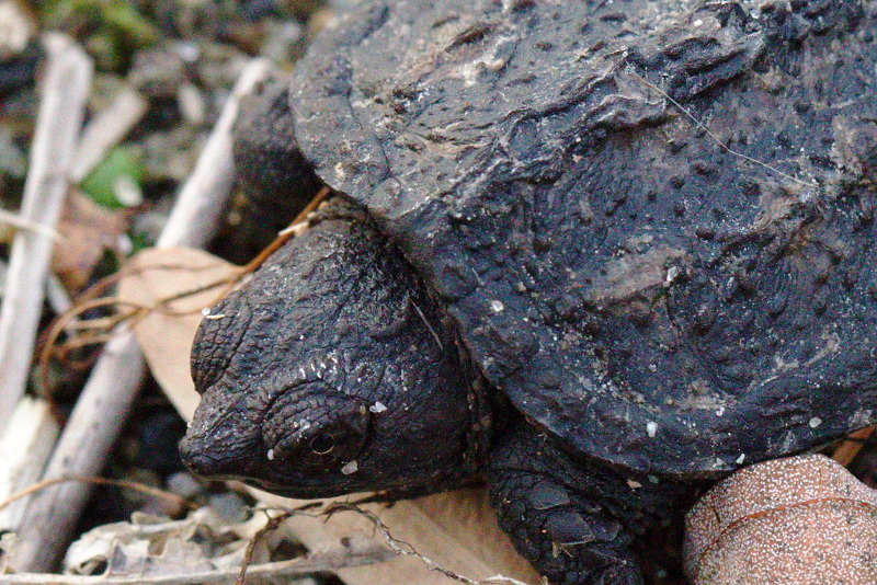Close-up of baby snapping turtle